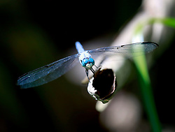 02 June 2014. Jean Lafitte National Historic Park, Louisiana.<br /> A dragonfly in the swamp at the Barataria Preserve wetlands south or New Orleans.<br /> Charlie Varley/varleypix.com
