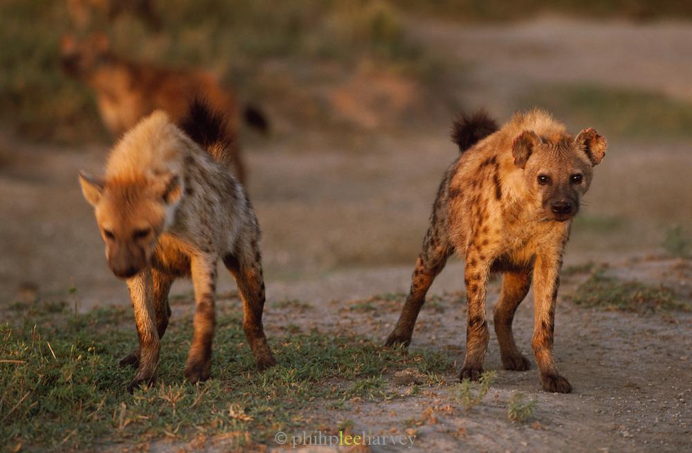 Hyenas at dawn in the Serengeti National Park, Tanzania
