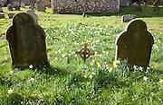 Daffodils in flower around graves in a churchyard, Shottisham, Suffolk, England