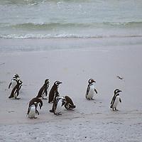 FALKLAND ISLANDS, Magellenic Penguins on beach near Port Stanley