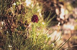 THEMENBILD - ein schwarzes Kohlröschen (Nigritella nigra, Syn.: Gymnadenia nigra) auf einer Bergwiese. Die Grossglockner Hochalpenstrasse verbindet die beiden Bundeslaender Salzburg und Kaernten und ist als Erlebnisstrasse vorrangig von touristischer Bedeutung, aufgenommen am 22. Juli 2019 in Fusch a. d. Grossglocknerstrasse, Österreich // a black cabbage floret (Nigritella nigra, syn.: Gymnadenia nigra) on a mountain meadow. The Grossglockner High Alpine Road connects the two provinces of Salzburg and Carinthia and is as an adventure road priority of tourist interest, Fusch a. d. Grossglocknerstrasse, Austria on 2019/07/22. EXPA Pictures © 2019, PhotoCredit: EXPA/Stefanie Oberhauser