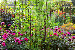 Mixed gourds - Lagenaria - growing over a metal pergola with Dahlia 'Olympic Fire' around the base in the potager at De Boschhoeve. Dahlia 'Sayonara' in the foreground with Ipomoea 'Heavenly Blue' and gooseberry melons - Cucumis myriocarpus - growing over metal frame in the foreground