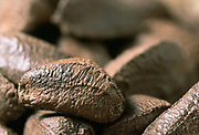 Close up selective focus photograph of Brazil nuts in their shells