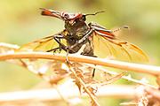 Male stag beetle (Lucanus cervus) with wings spread. Nr. Wilsey, Surrey, UK.