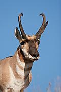 Pronghorn antelope