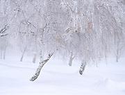 Winter Birch Grove, E. Oregon