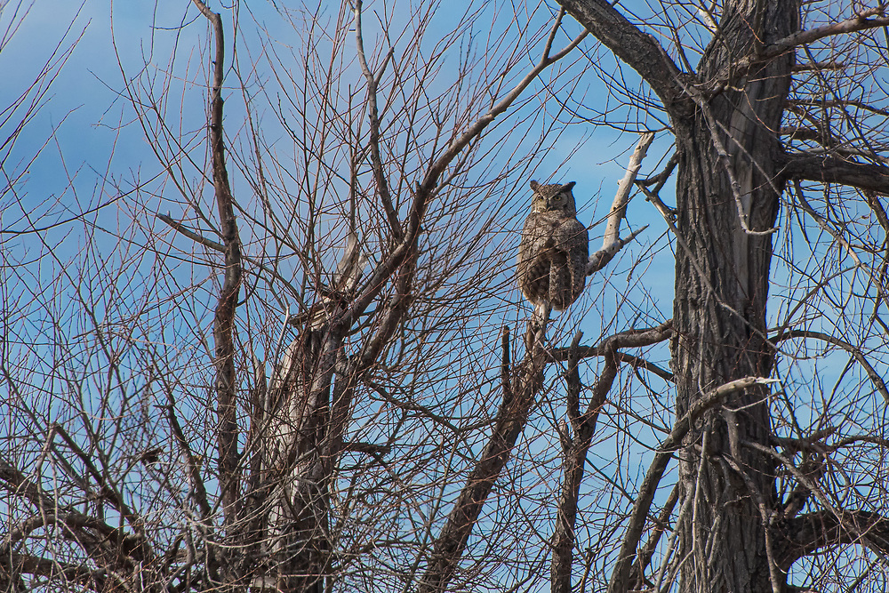 This enormous great horned owl was spotted from almost a quarter-mile away perched in a cottonwood tree next to Lower Klamath Lake in Northern California.