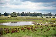 Nederland, the netherlands, kekerdom, 31-7-2019Een groep wilde konikpaarden, koniks, paarden, staan bij een bijna uitgedroogde poel,waterpoel, in de uiterwaarden van de rivier de Waal, Rijn . De aanhoudende droogte en warmte zorgt opnieuw voor een probleem met het water.Foto: Flip Franssen