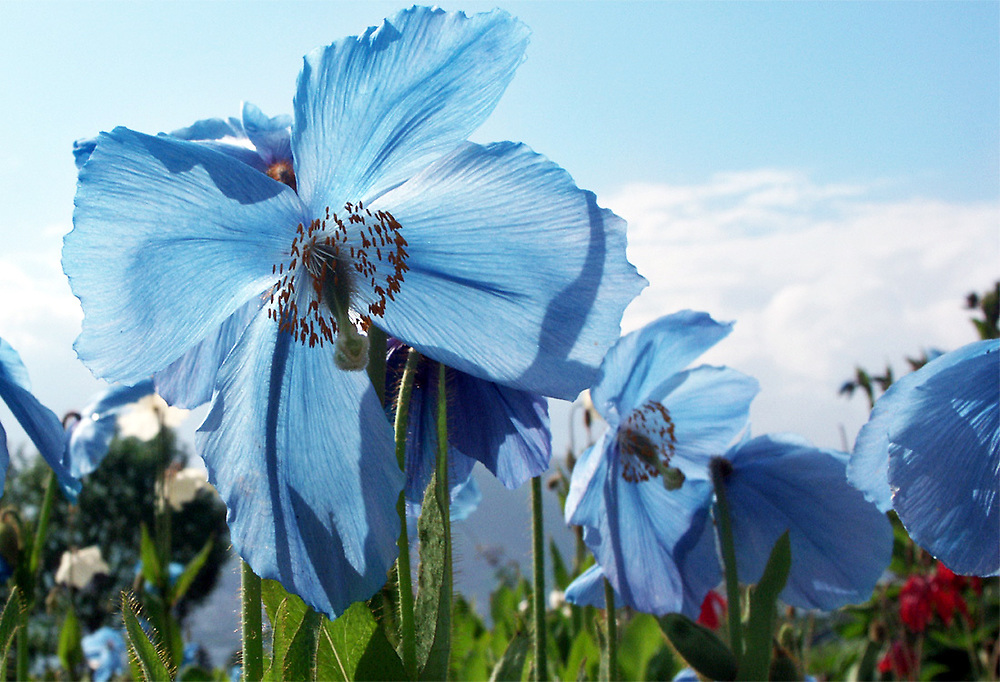 A field of Himalayan Blue Poppies. Photo by Adel B. Korkor.