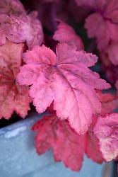 Heuchera 'Autumn Leaves' in a window box