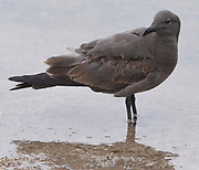 An immature lava gull or dusky gull (Leucophaeus fuliginosus) with immature brown plumage. The lava gull, said to be the rarest gull in the world, is endemic to the Galapagos Islands. Puerto Baquerizo Moreno, San Cristobal, Galapagos, Ecuador.