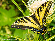 Western Tiger Swallowtail on a thistle in the Great Bear Wilderness in Montana, USA