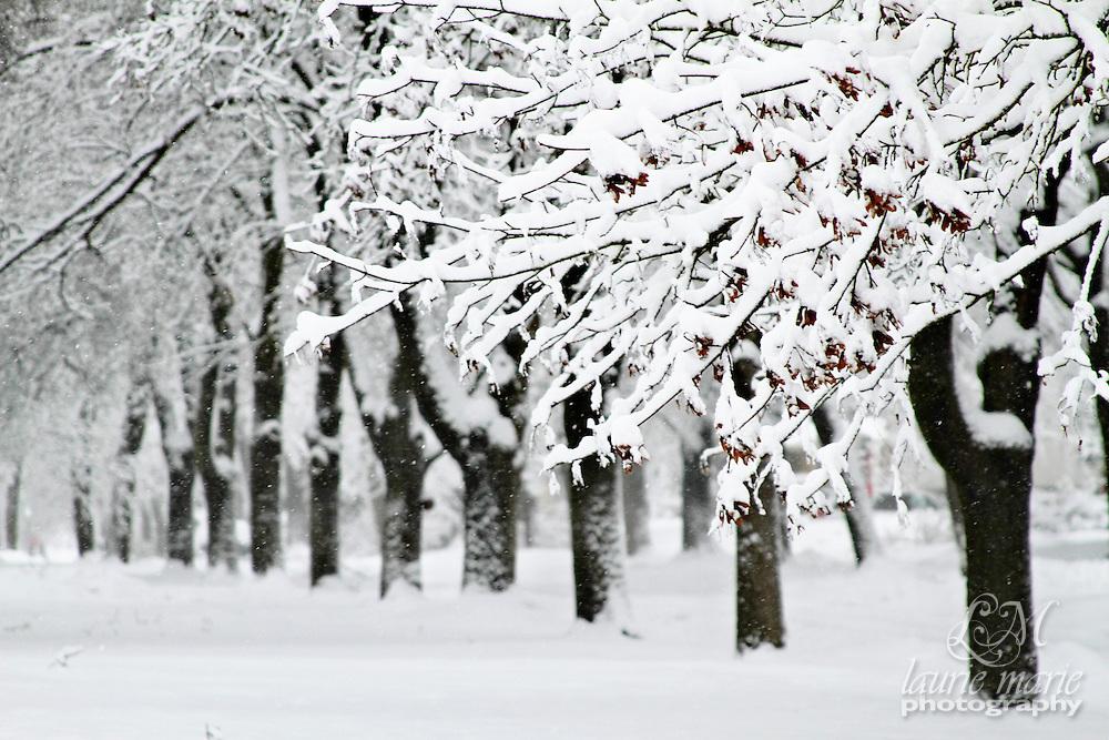 Snowy line of trees