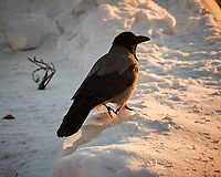 Hooded Crow on the snow near Tromsø harbor.  Image taken with a Nikon N1V2 camera and 30-110 mm VR lens (ISO 200, 110 mm, f/5.6, 1/320 sec).
