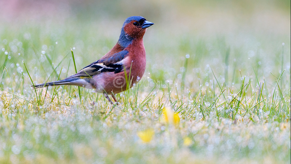 Common chaffuinch (Fringilla coelebs, male) from Hidra, south-western Norway.
