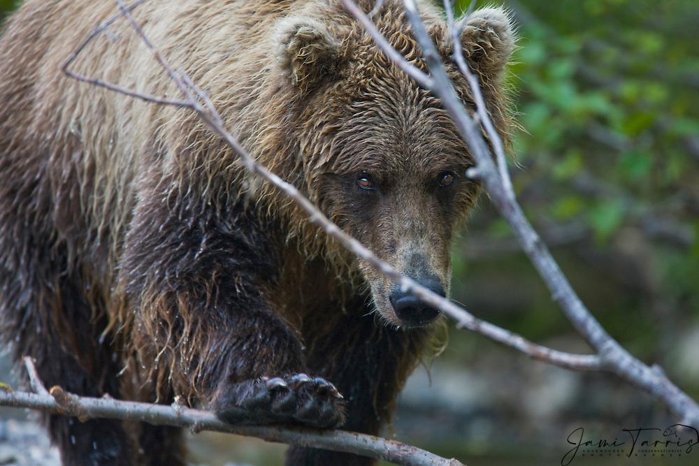 Close-up, a coastal brown bear ( Ursus arctos ) with paw pushing down a branch as it approaches, front view, Katmai Peninsula, Alaska