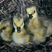 Canada Goose, (Branta canadensis) Goslings in nest. Spring. Montana.  Captive Animal.