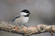 Black Capped Chickadee portrait. This bird posed perfectly for this portrait in the sunlight.