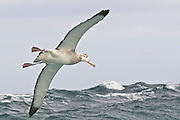 Wondering Albatross red tag L97,  bred sucessfully in 2008. Photo taken from the back of the ship.