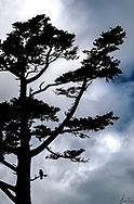 A lone crow sits in a pine tree on a very stormy day.