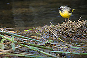 Male grey wagtail in the calm pool below a small waterfall.