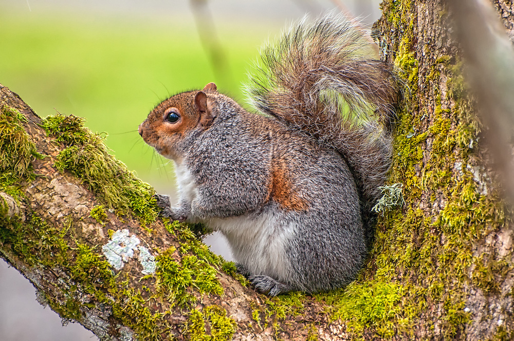 """A """"fattened-up-for-winter"""" eastern gray squirrel pauses in a tree long enough for me to make this image in the Nisqually National Wildlife Refuge near Olympia, Washington."""