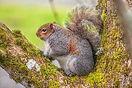 Squirrels, Chipmunks, and Marmots (Sciurids)