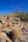 Barrel Cactus and Ocotillo in bloom on Yaqui Pass, Anza-Borrego Desert State Park, California