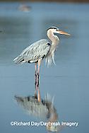 00684-007.12 Great blue heron (Ardea herodias) J.N. Ding Darling NWR   FL