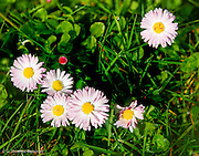 A clump of asters ttys to bloom and set seed between mowings of the lawn at Seward Park.