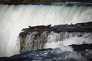 SHOT 10/21/17 2:50:19 PM - A seagull perches precariously at the edge of the American Falls which is the second-largest of the three waterfalls that together are known as Niagara Falls on the Niagara River along the Canada–U.S. border. Unlike the much larger Horseshoe Falls, of which two-thirds is located in Ontario, Canada and one-third in the U.S. state of New York, the American Falls is entirely within the United States. The falls are viewable from a steep angle on the American side, where it is possible to approach to within several meters of the edge of the falls. One can view the falls from the bank of the river, as well as on Goat Island and Luna Island, which are accessible by a pedestrian bridge that crosses the rapids of the Niagara River upstream from the falls. Niagara Falls is famed both for its beauty and as a valuable source of hydroelectric power. Balancing recreational, commercial, and industrial uses has been a challenge for the stewards of the falls since the 19th century. (Photo by Marc Piscotty / © 2017)