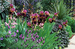 Well planted border in a small town garden. Iris 'Indian Chief', Lavandula stoechas (french lavender), Ceanothus 'Puget's Blue', aquilegia, Geranium 'Johnson's Blue' and purple sage.
