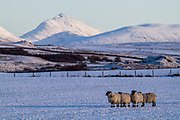 Sheep on frozen ground early on a Winter morning