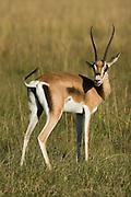 Thompson gazelle, Masai Mara, Kenya