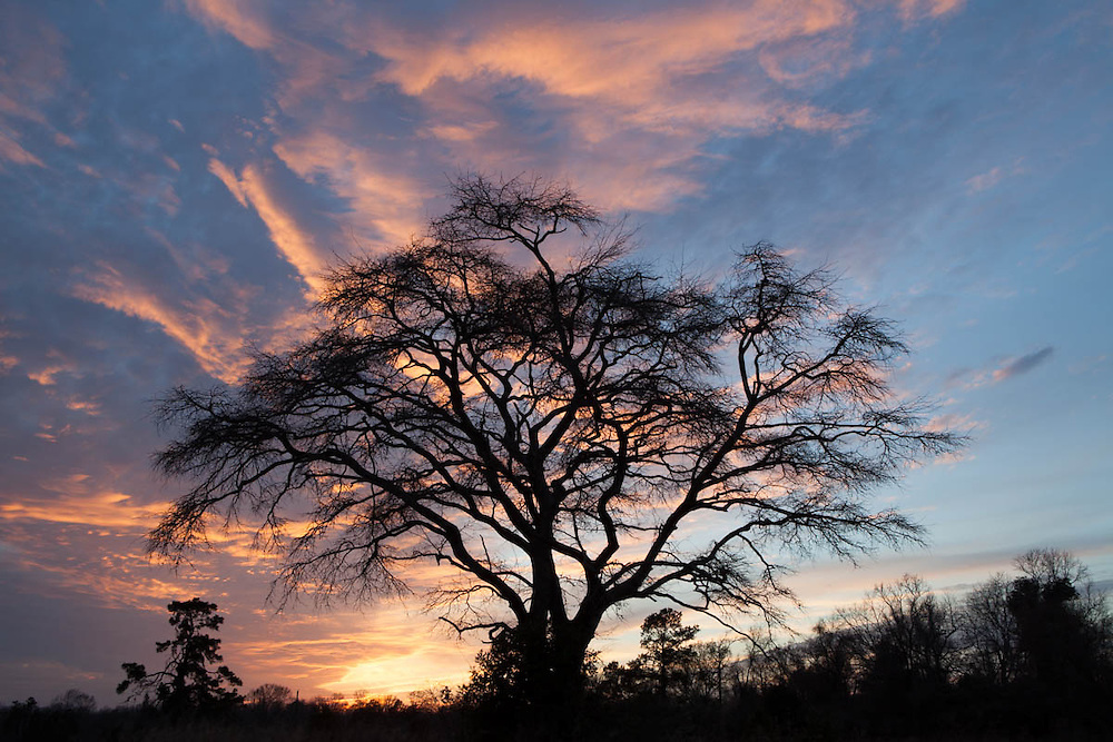 Oak tree silhouetted at sunset in East Texas.