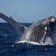 Humpback whale (Megaptera novaengliae) breaching against a backdrop of blue water