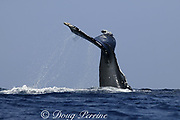 humpback whale, Megaptera novaeangliae, inverted tail slap, Kona, Hawaii, caption must note photo was taken under NMFS research permit #587
