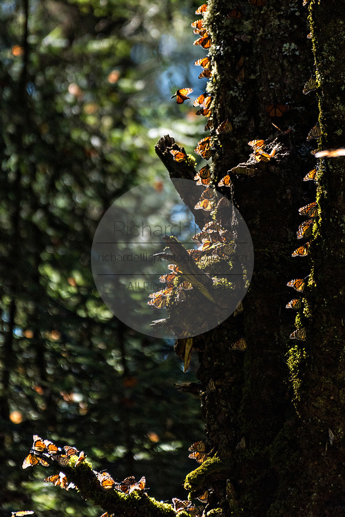 Monarch Butterflies sun on a tree trunk during the annual mass migration in the forests of the El Capulin Monarch Butterfly Biosphere Reserve in Macheros, Mexico. Each year millions of Monarch butterflies mass migrate from the U.S. and Canada to the Oyamel fir forests in central Mexico.
