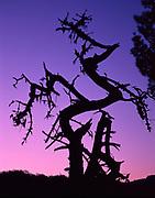 Old and Crooked Bishop Pine,Phillip Burton Wilderness,Point Reyes National Seashore, California