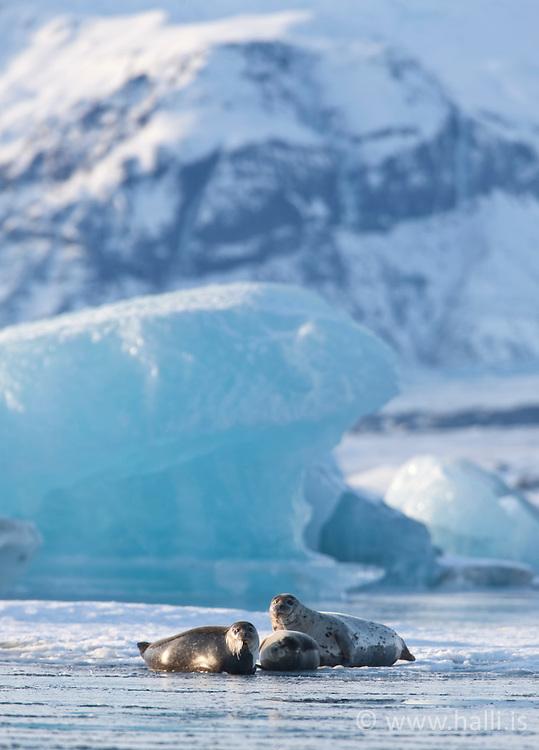 Seals and Ice cubes at the lake Jokulsarlon, Iceland - Selir á Jökulsárlóni