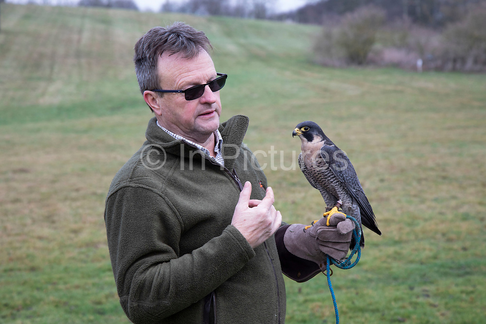Birds of prey on show during a falconry display near Stratford-upon-Avon, England, United Kingdom. Here a Peregrine Falcon is on the falconers glove.