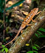 Panther chameleon (Furcifer pardalis) from Palmarium, eastern Madagascar.