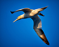 Northern Gannet in flight with one foot down in the evening sun. From the deck of the M/V Explorer crossing the North Sea between Dover and Oslo. Semester at Sea, Spring 2013 Enrichment Voyage. Image taken with a Nikon D4 camera and 80-400 mm VR II lens(ISO 180, 400 mm, f/5.6, 1/400 sec).