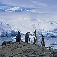 Gentoo Penguins (Pygoscelis papua) nest at a rookery by, Cierva Cove on the Antarctic Peninsula, Antarctica.