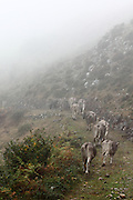 Cows wander off into the fog up from the hamlet of Beges, on the eastern side of the Picos de Europa national park in northern Spain