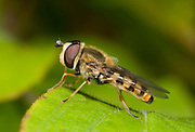 Close-up profile of a female hover-fly (Eupeodes corollae) resting on a leaf in a Norfolk garden in summer.