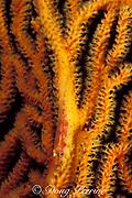 goby, Bryaninops sp., on sea fan,<br /> Flinders Reef, Coral Sea, <br /> Australia
