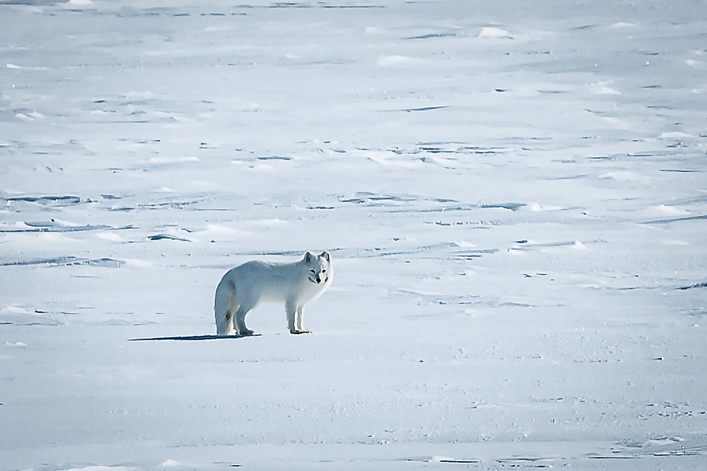 A white arctic fox curious of what we're go'ne leave after or departure.