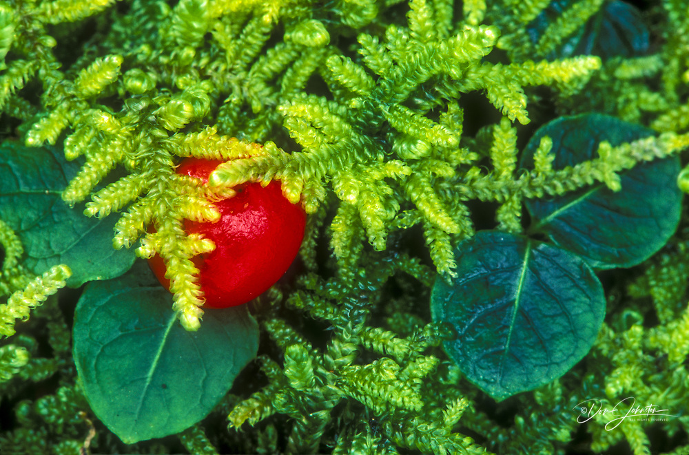 Partridgeberry (Mitchella repens) Ripe berry and leaves in bed of sphagnum moss, Great Smoky Mountains NP, TN, USA
