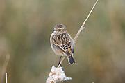 Stonechat, Saxicola torquatus , Elmley National Nature Reserve, United Kingdom, perching, female